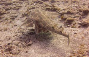 diving-tenerife-Las-Eras-Angel-Shark