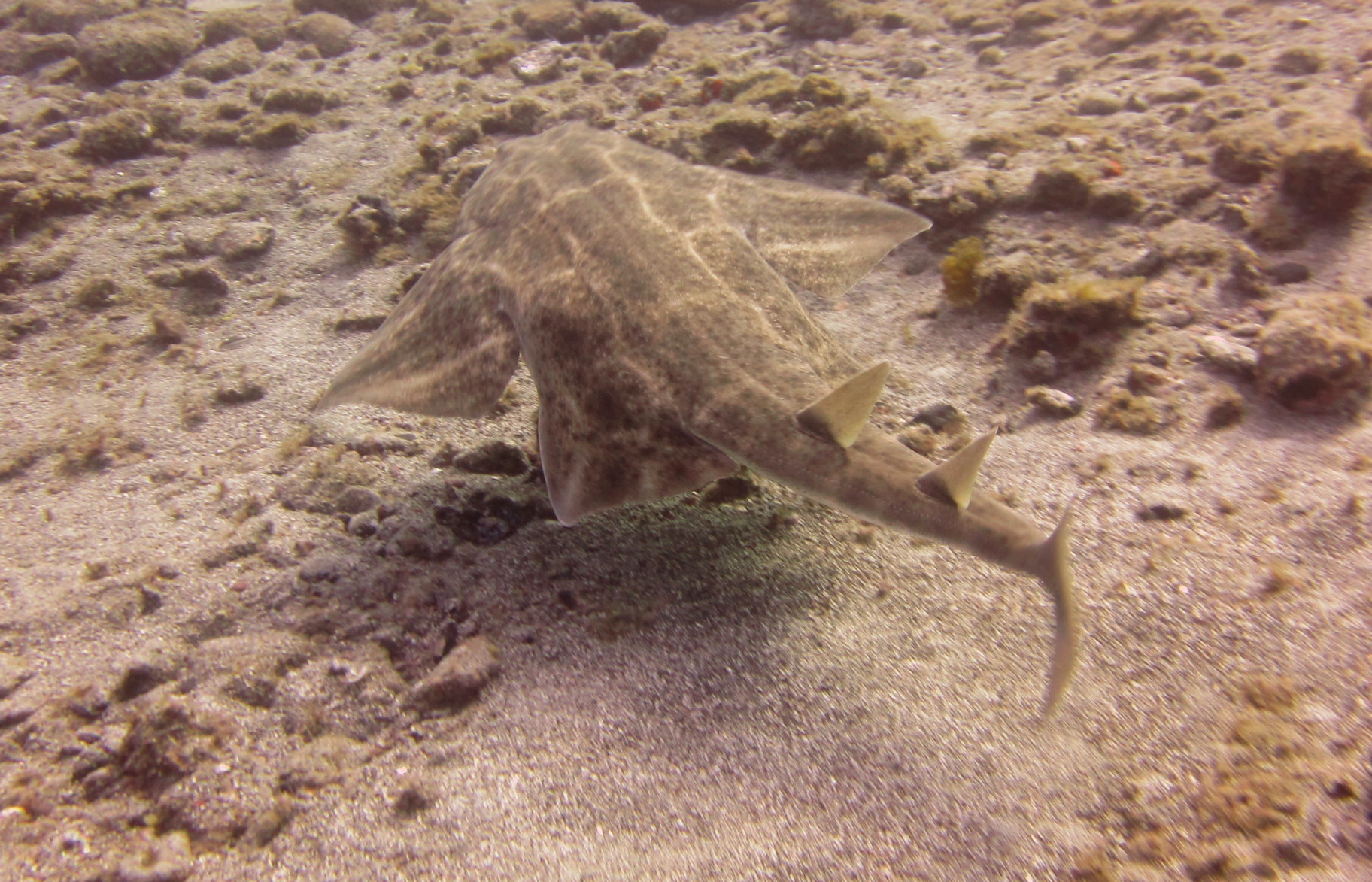 diving-tenerife-Las-Eras-Angel-Shark