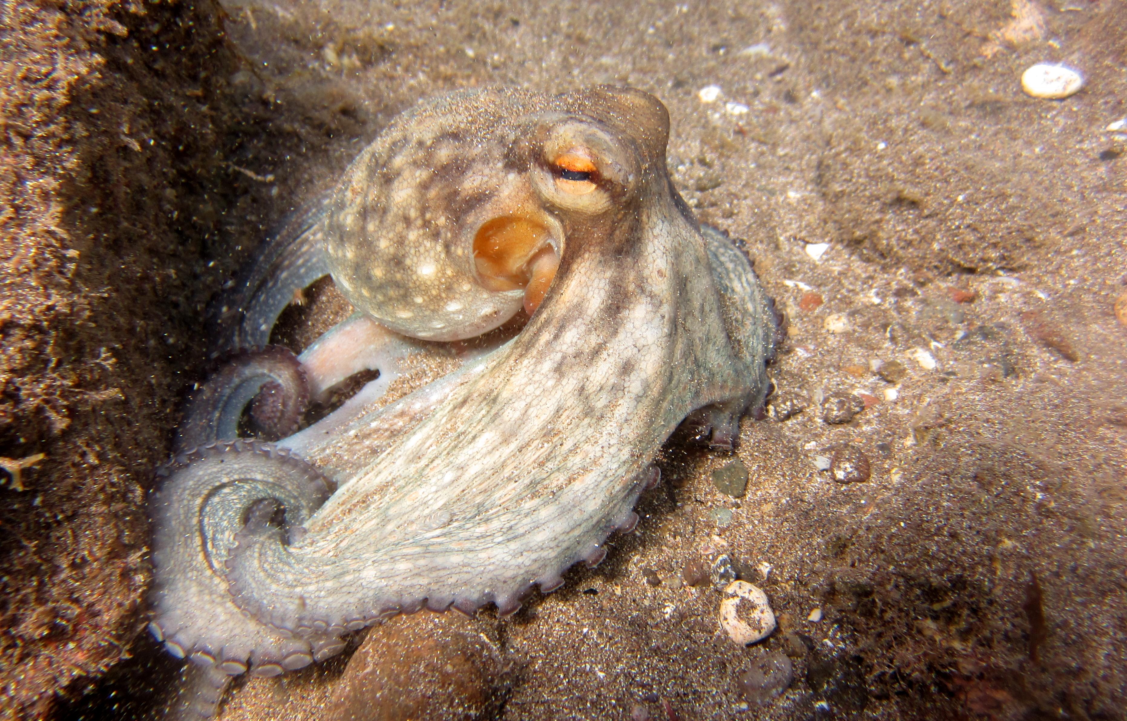 diving-tenerife-Las-Eras-Common-Ocotpus