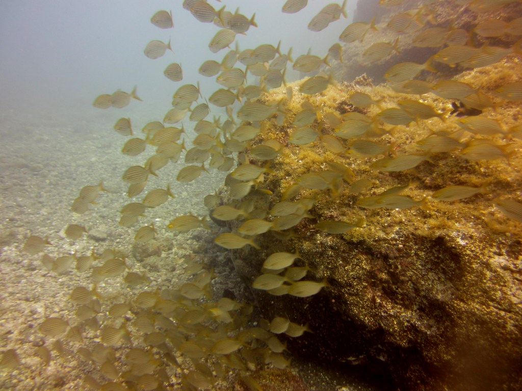 diving-tenerife-Las-Eras-Cow-Bream
