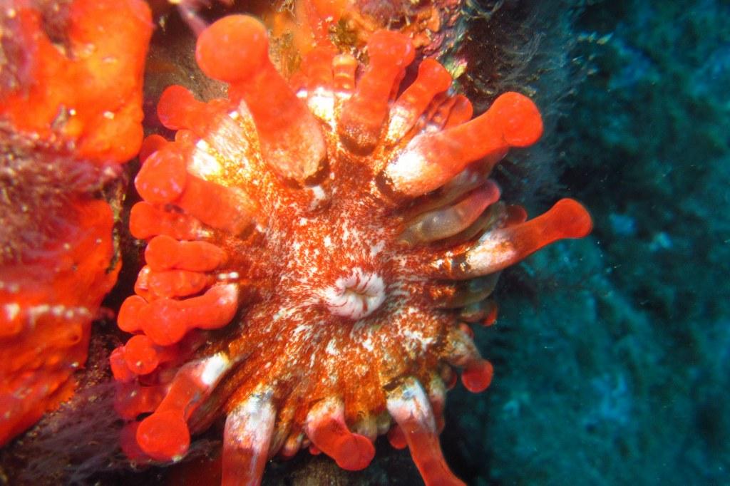 diving-tenerife-Las-Eras-Pipeline-Anemone