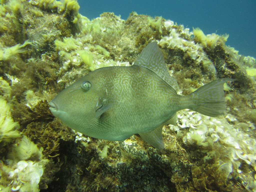 diving-tenerife-Las-Eras-Trigger-Fish