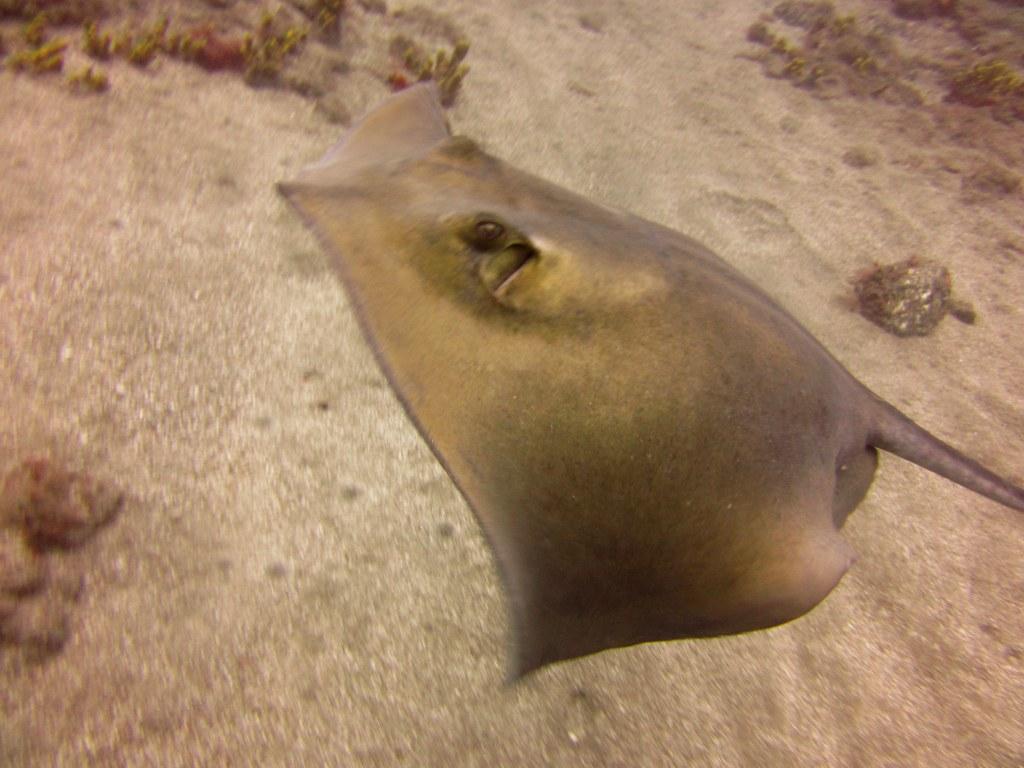 diving-tenerife-Pequeño-Valle-Common-Ray