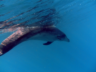 diving-tenerife-Pequeño-Valle-dolphin_tenerife_8