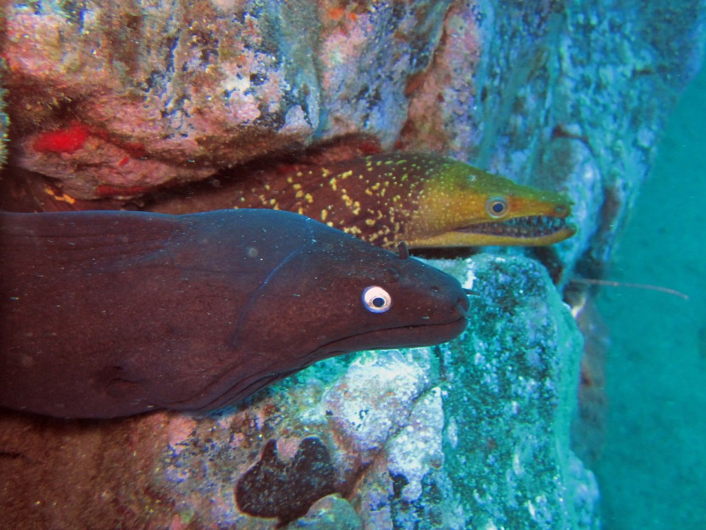 diving-tenerife-Poco-Naufragio-Black-Moray-Eel-Fangtooth-Moray-Eel