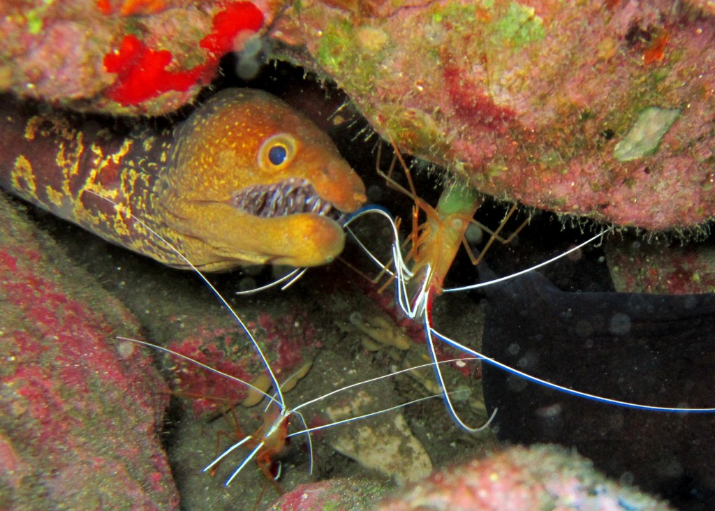 diving-tenerife-Poco-Naufragio-Red-Backed-Cleaner-Shrimp-Fangtooth-Moray-Eel