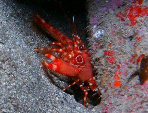 diving-tenerife-morena-cueva-Red-Reef-Lobster.