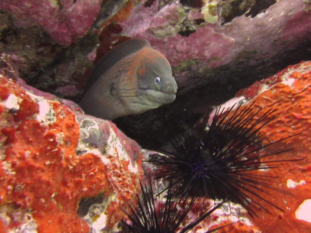 diving-tenerife-morena-cueva-moray