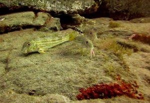diving-tenerife-mullets