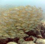 diving_tenerifeAlcala-dive-site-fish