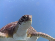 diving_tenerifeAlcala-dive-site-turtles-1