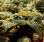 diving_tenerifeAlcala-dive-site-turtles-3